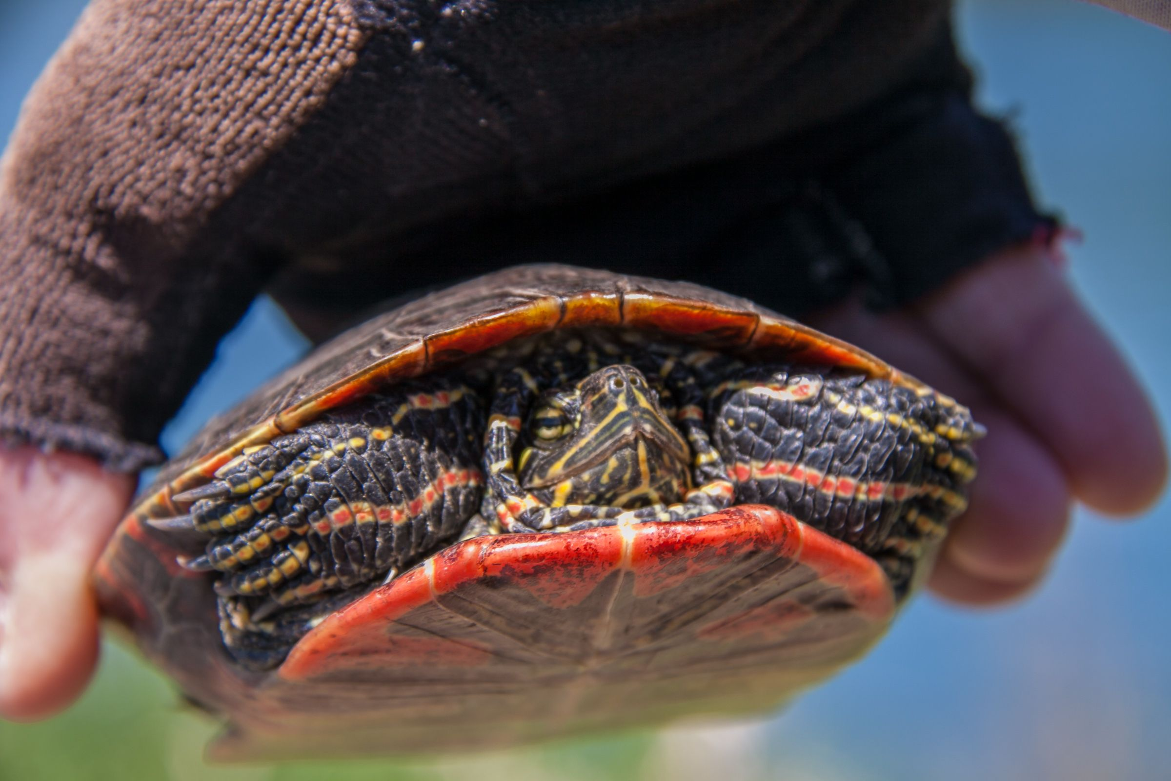 Painted turtle. Trail of the Coeur d'Alenes. This little fellow was gently coaxed away from the bike path so as to avoid certain injury.