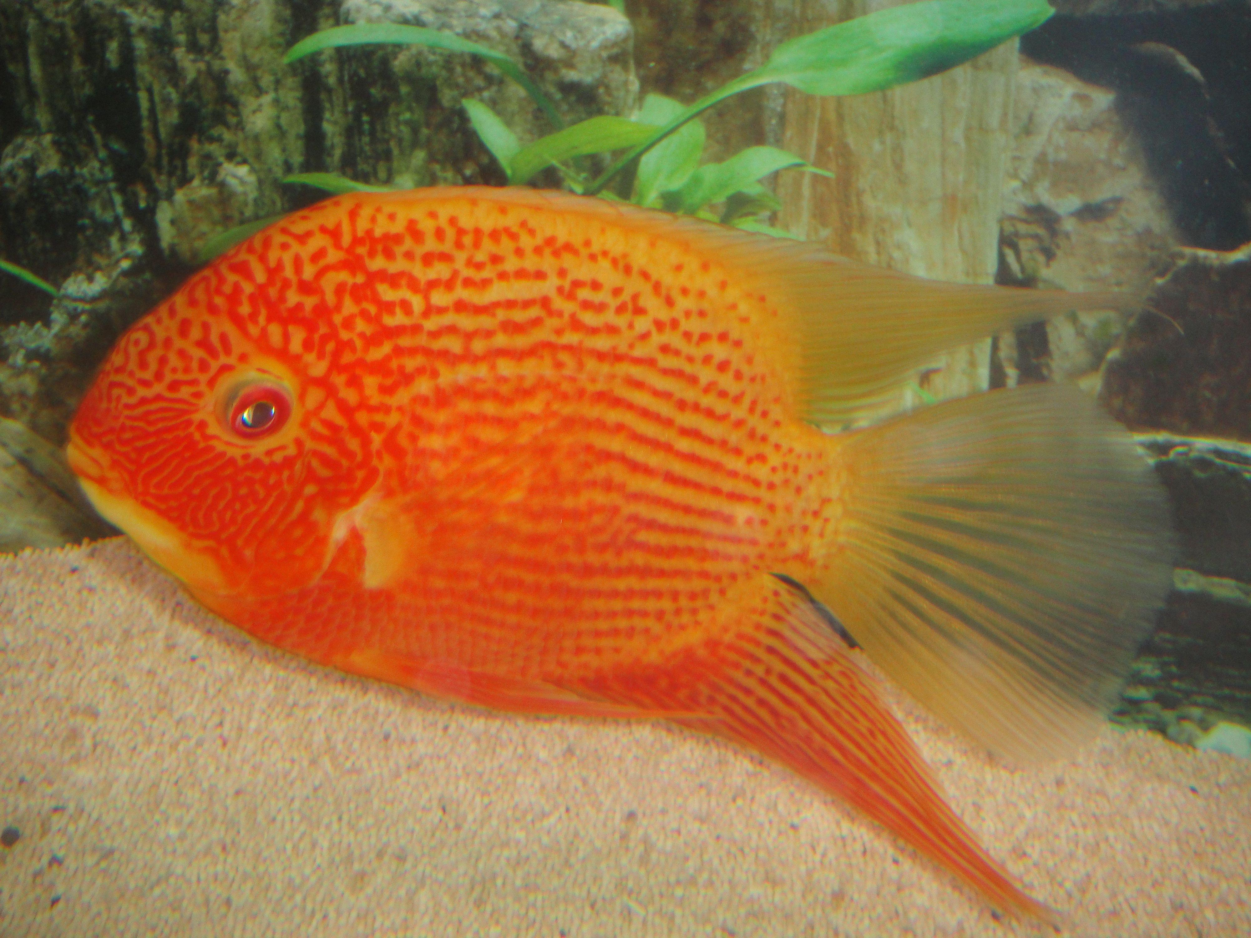Severum Aquarium Fish Cichlids Tropical Fish Tanks