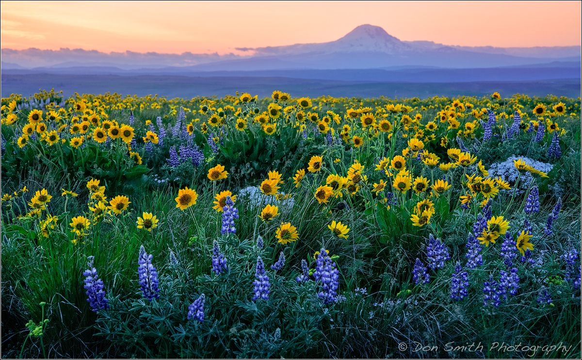 A field of lupine and balsamroot color the hillsides with