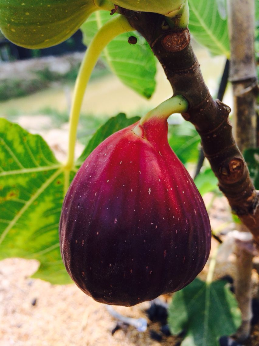 Wow Red Fig Jordan Fruit Trees Pinterest Figs And Fruit Trees