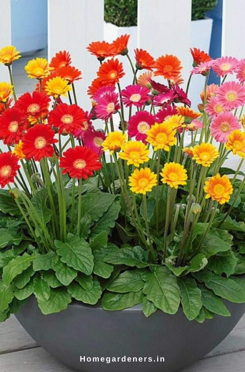 Gerbera Daisy Guide The Only Gerbera Daisy Resources You Will Ever Need Gerbera Gerbera Flower Flower Pots