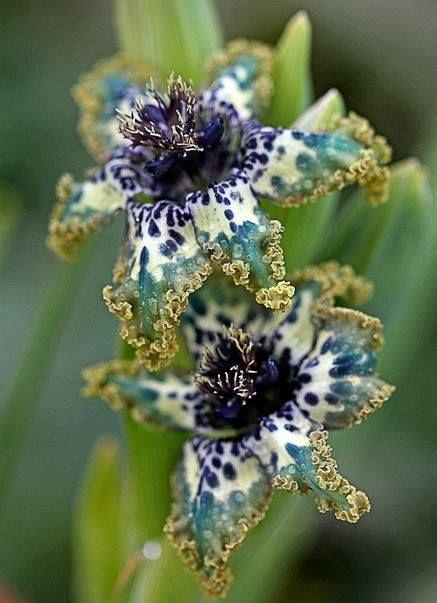 Star-fish Iris