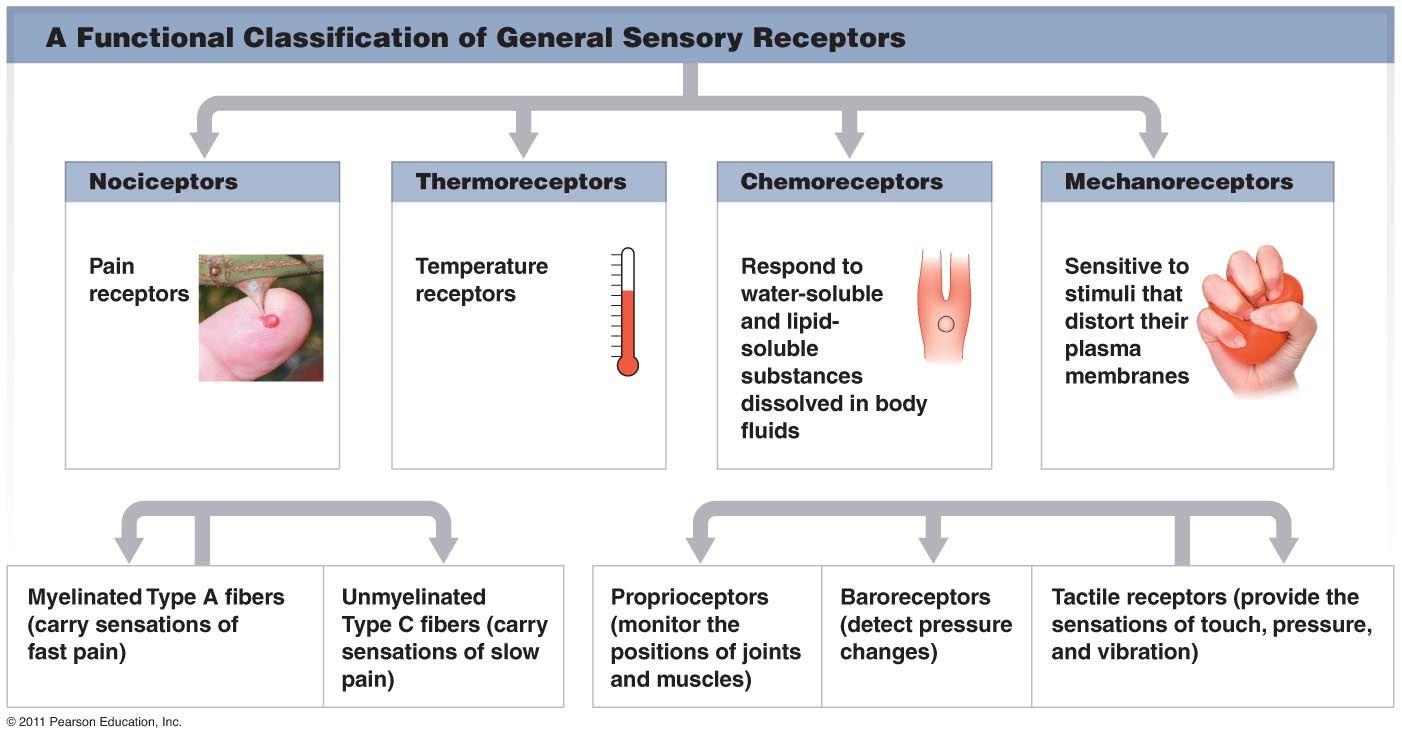 Representative synapse neuroscience pinterest diagram and representative synapse neuroscience pinterest diagram and neuroscience fandeluxe Images