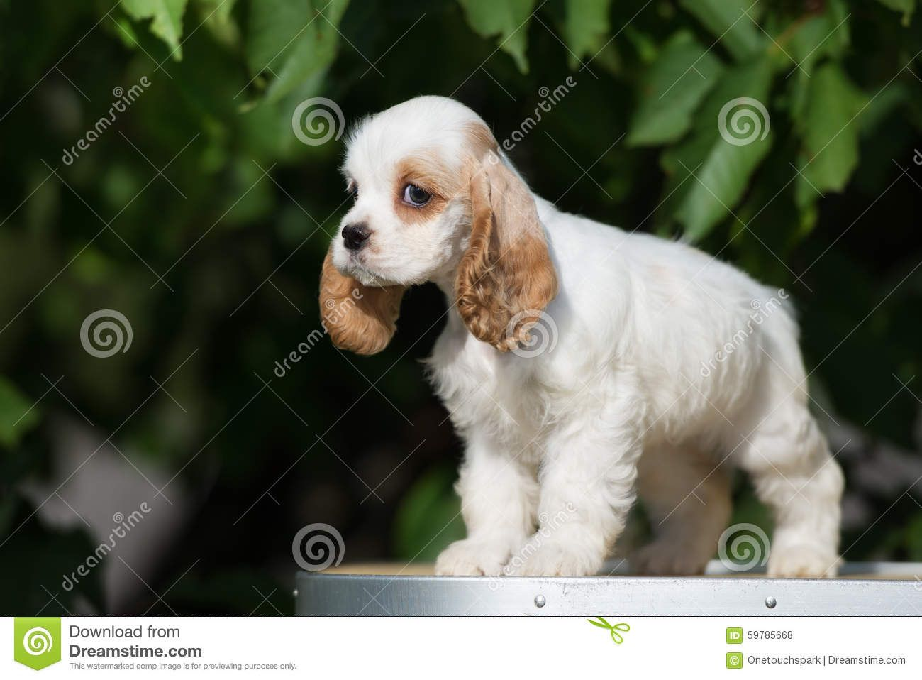 White And Red American Cocker Spaniel Puppy Download From Over 68 Million High Quality Stock Photos I Cocker Spaniel Puppies American Cocker Spaniel Puppies