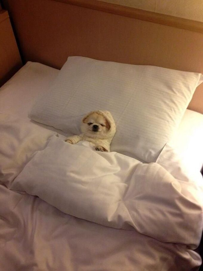 Image result for pomeranian dog, sleeping in my bed with me