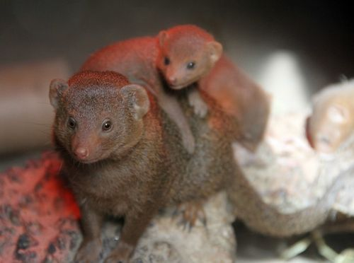 Baby mongoose!