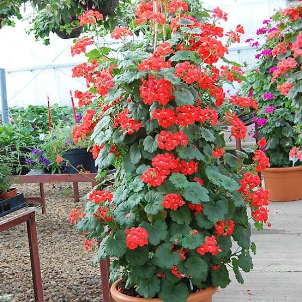 9 Jumbo Plug Plants Climbing Geranium Antik Collection