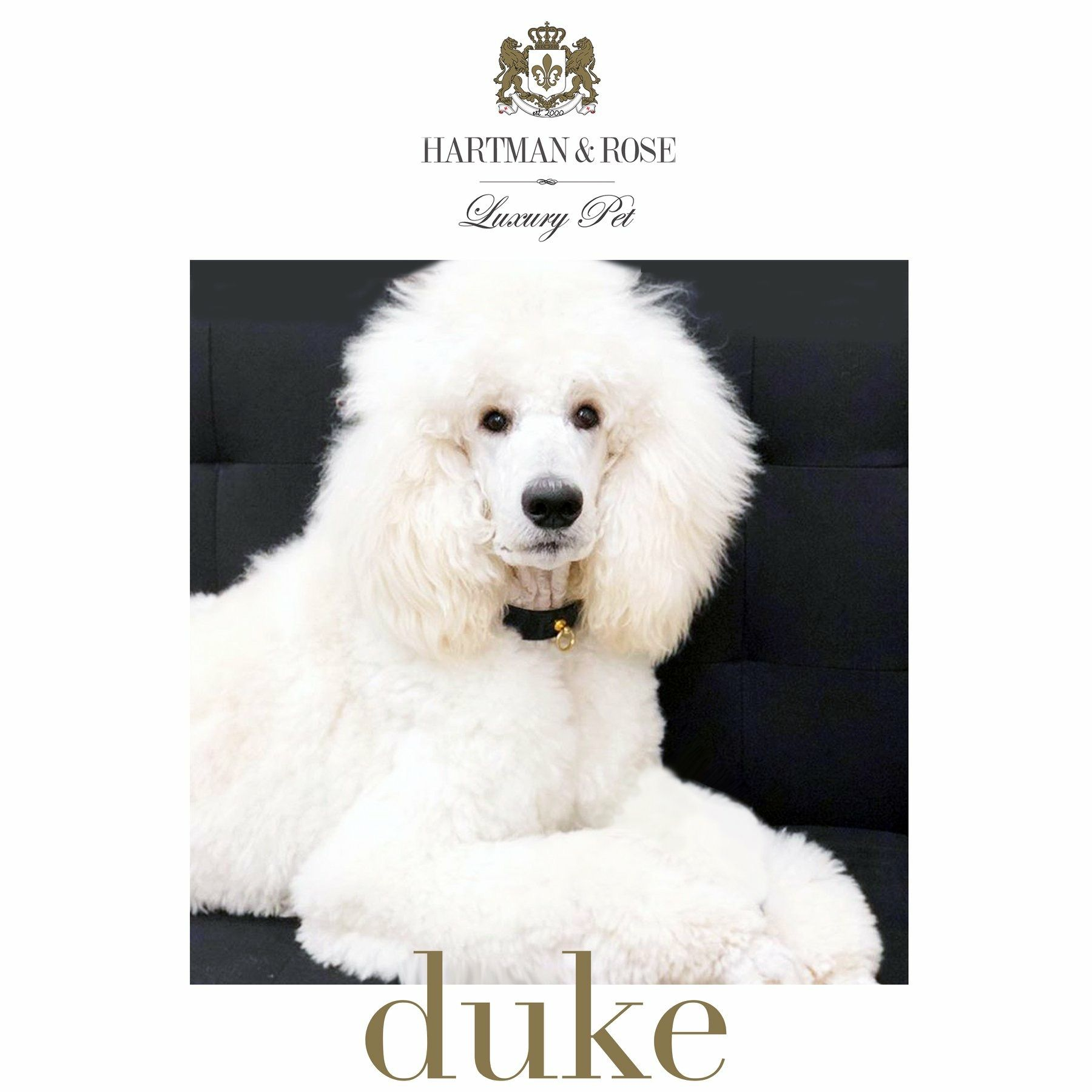 25% on WORLD'S FINEST LUXURY DOG PRODUCTS promo code: SEPTEMBER www.hartmanandrose @hartmanandrose #hartmanandrose  This is Duke from Sydney, Australia. Certainly one of the most handsome fellows.  He is wearing the South Seas collar in black patent & gold. Follow him @duke_thepoodle Love Your Dog. Spread the Love ❤️  Take the Lead & Walk in Style