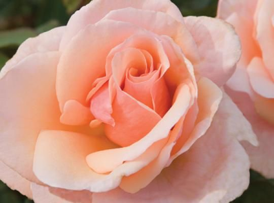 The Mother of Pearl™ Rose | Star Roses & Plants