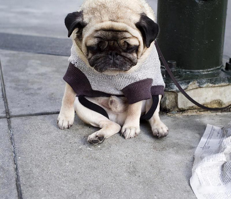 Un carlin en pleine dépression Mooooooooh