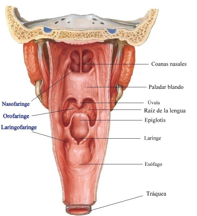 vista+posterior+faringe-laringe.JPG (636×698) | Anatomía | Pinterest ...