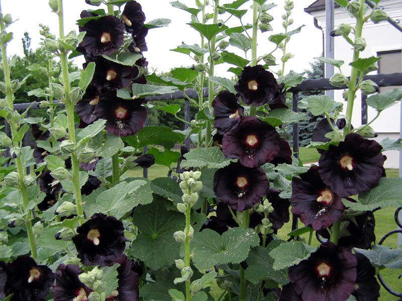 Alcea Rosea Nigra Black Hollyhock I Can Imagine That The Victorians With Their Love Of All Things Funerary Adored These Wonderfully Sombre Plants