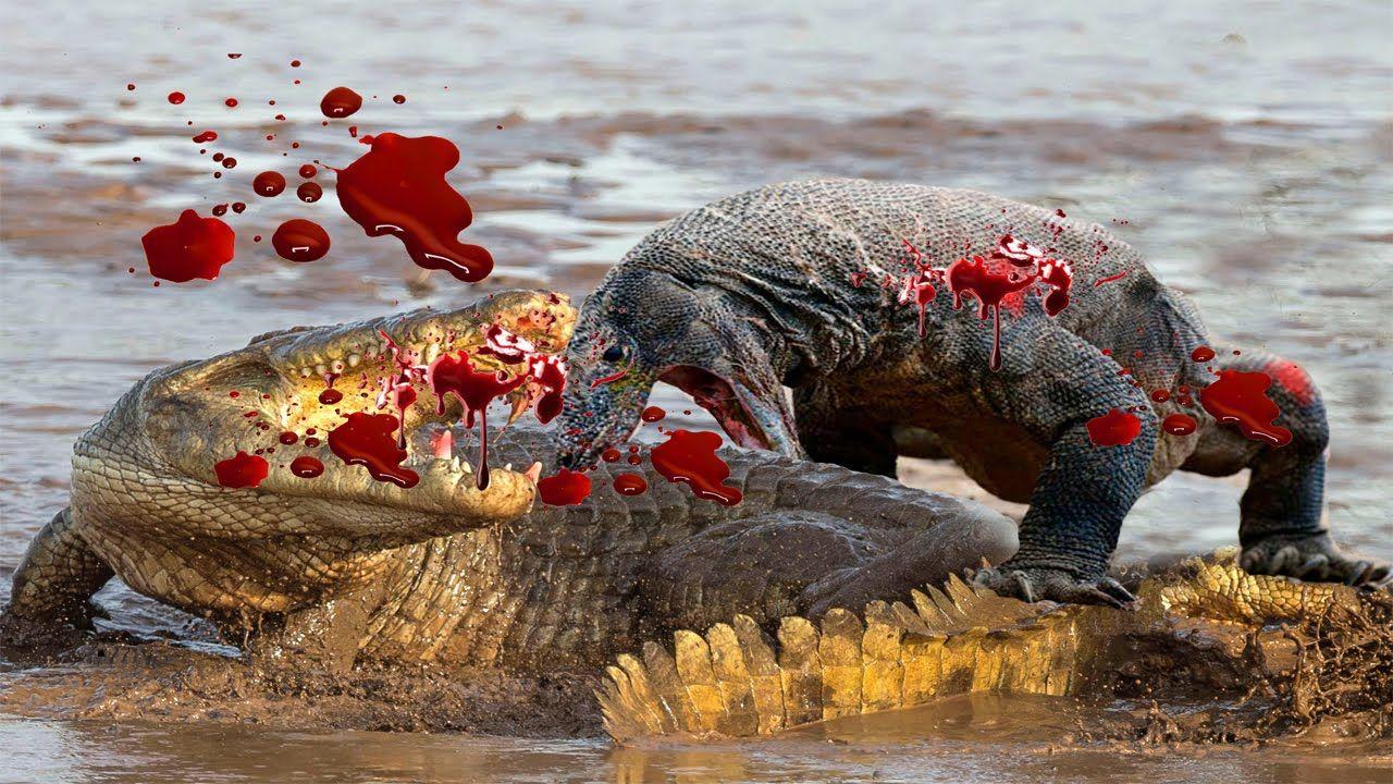 Komodo Dragon Attacks Komodo Dragon vs King Cobra Komodo ...