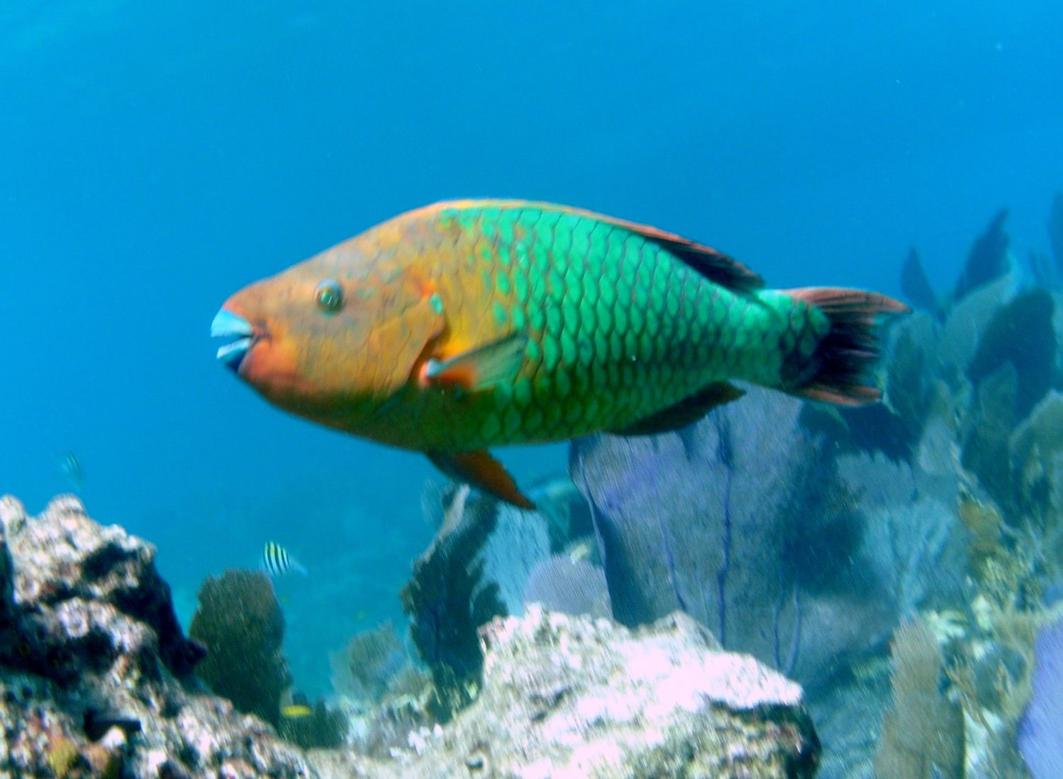 Rainbow parrotfish my favorite parrotfish are the for Rainbow parrot fish