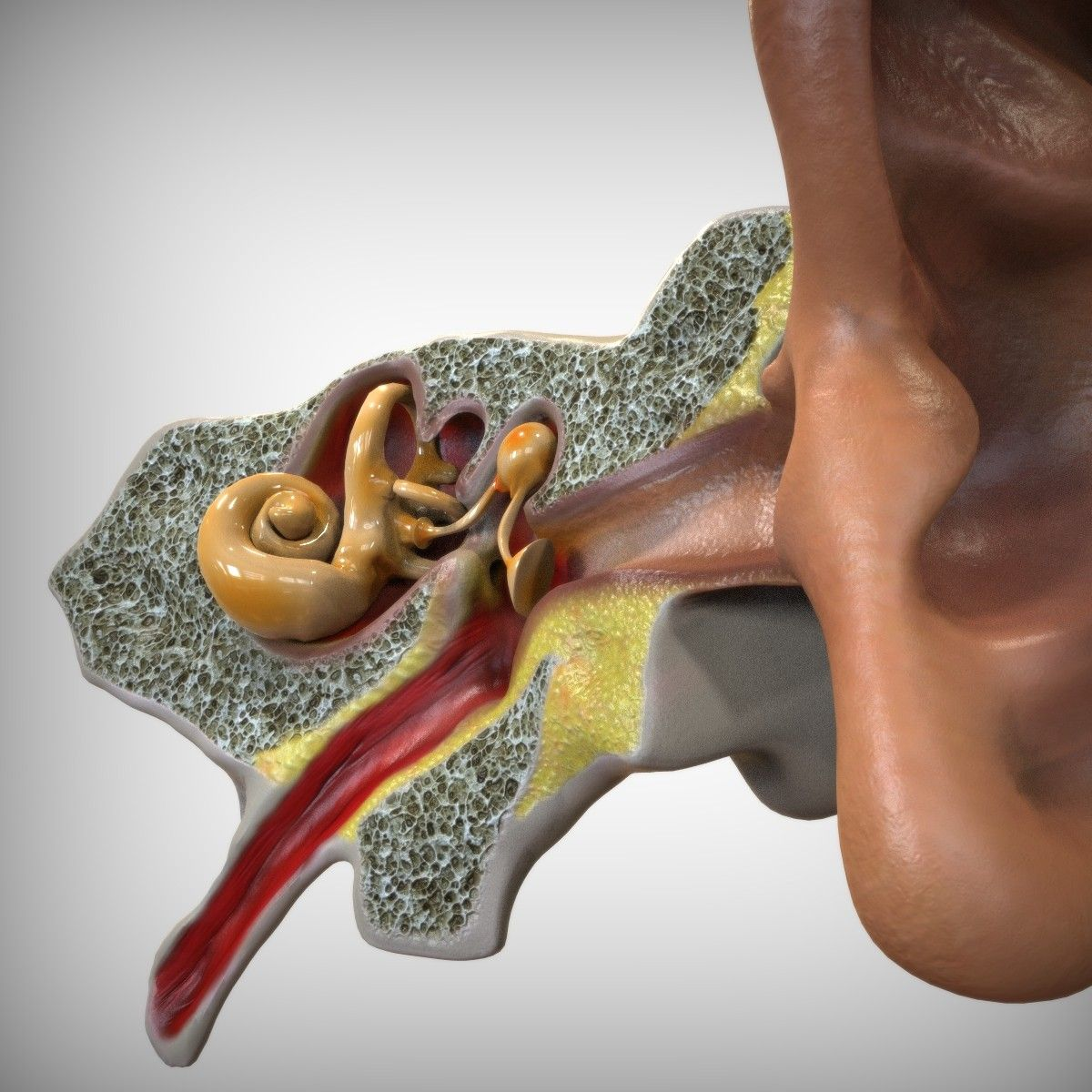 3d model anatomy senses head ear | 3d Anatomy | Pinterest | Anatomy ...