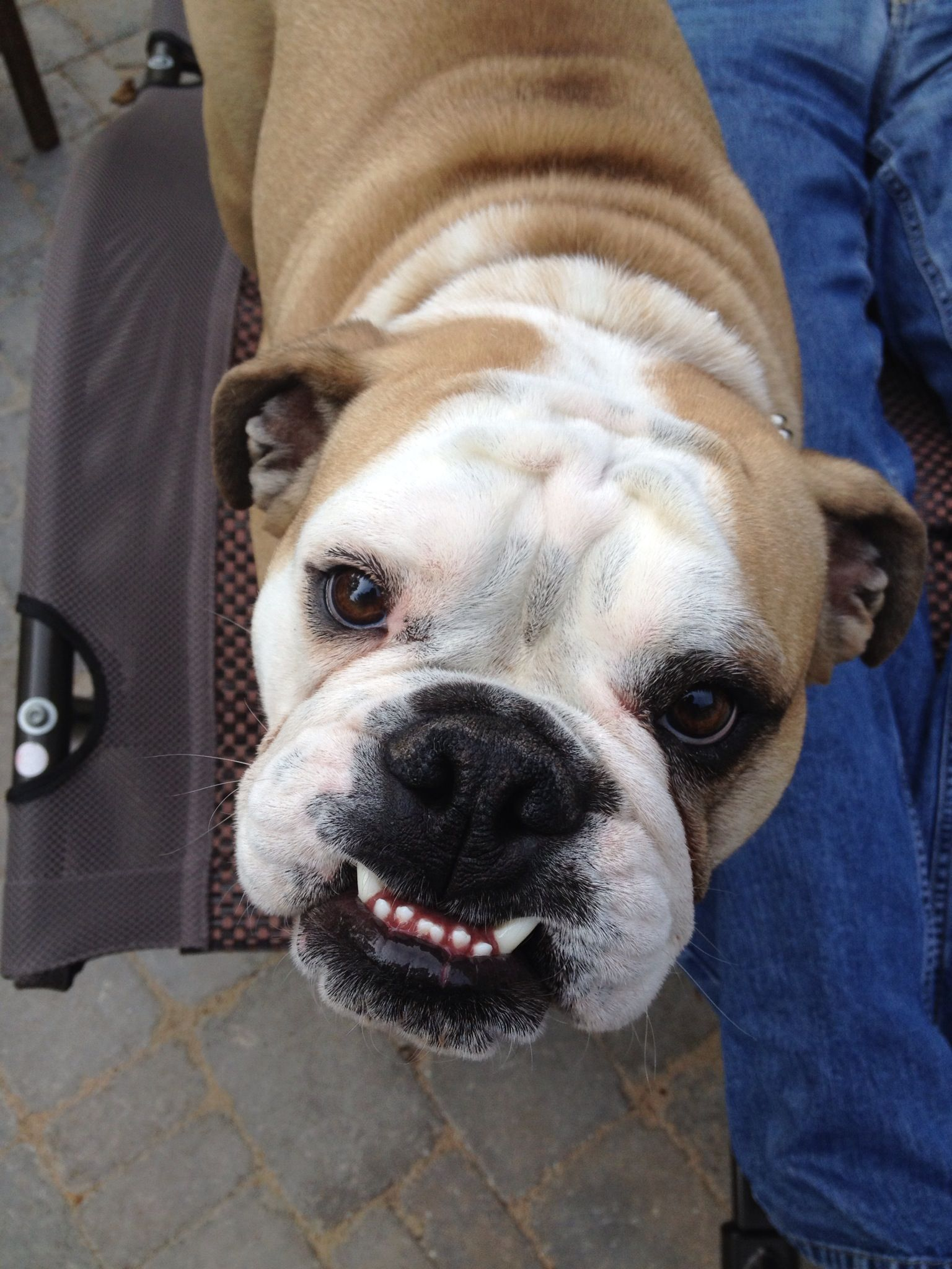 Pin By Lynn Hack Neusen On Our Bulldogs Dogs Bulldog Animals