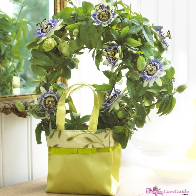 Growing Passion Flower Indoors A Perfect Choice Passion Flower Indoor Flowers Flowering Vines