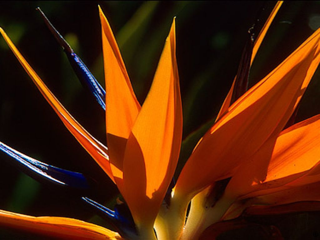 gratis skrivebord bakgrunner - Strelitzia: http://wallpapic-no.com/natur/strelitzia/wallpaper-9845
