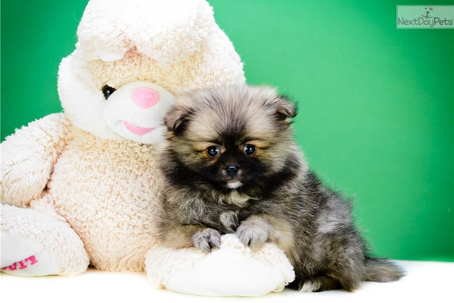 Teacup Cole Pomeranian Puppy For Sale Near Columbus Ohio