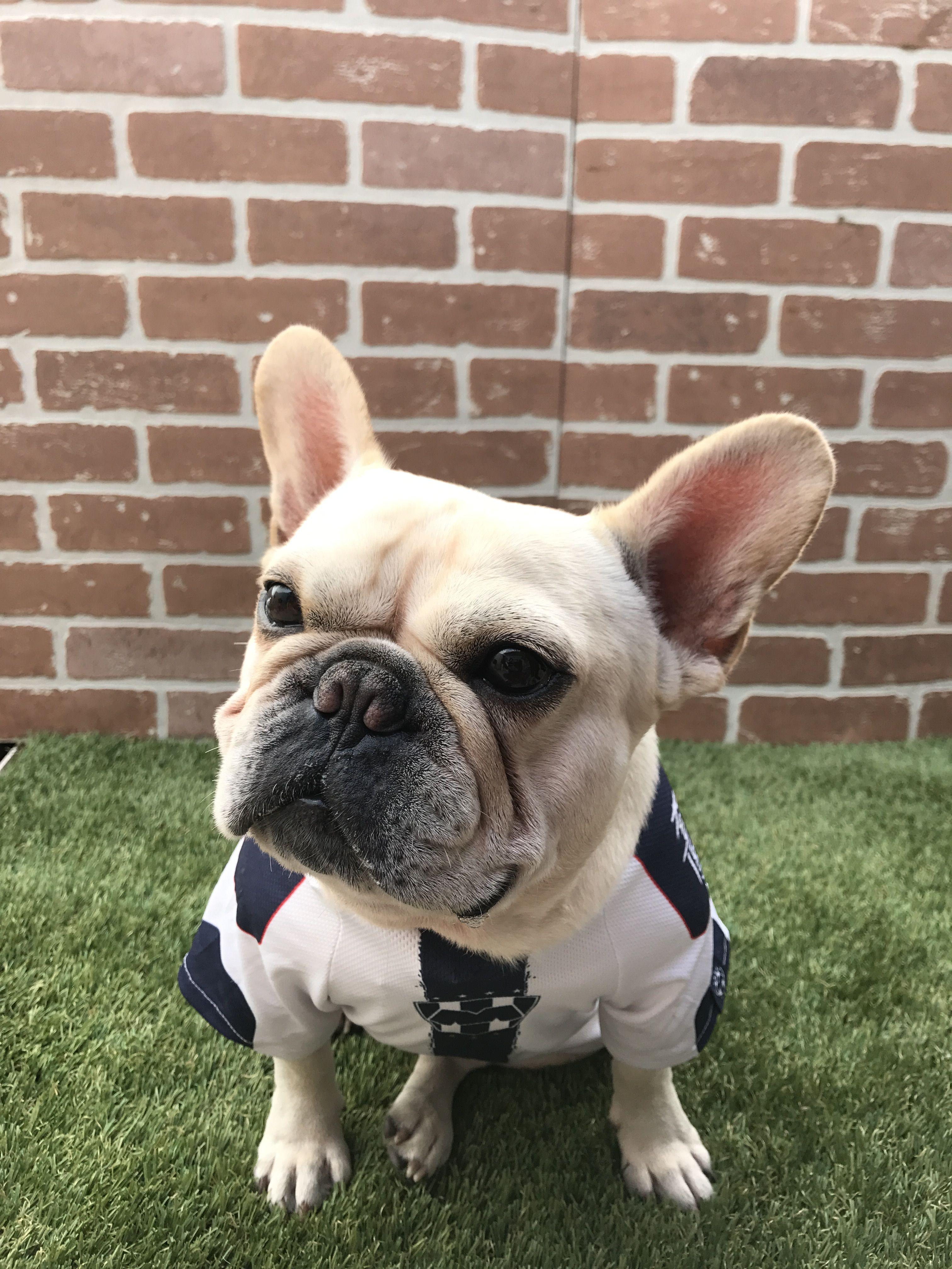 Roberto the French Bulldog ️ French bulldog, Dog trainer