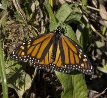 http://www.opb.org/radio/programs/thinkoutloud/segment/roundup-and-other-threats-to-the-monarch-butterfly/