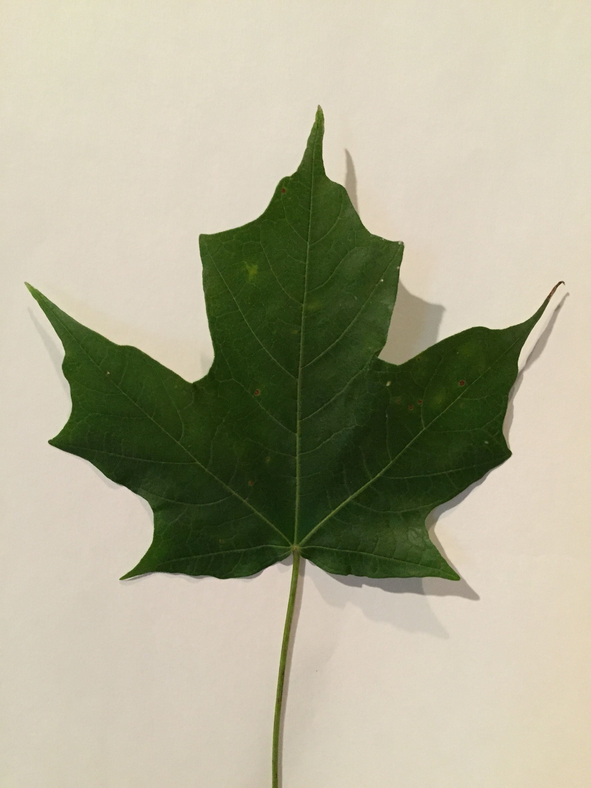 Sugar Maple Leaf Plant leaves, Sugar maple, Leaves