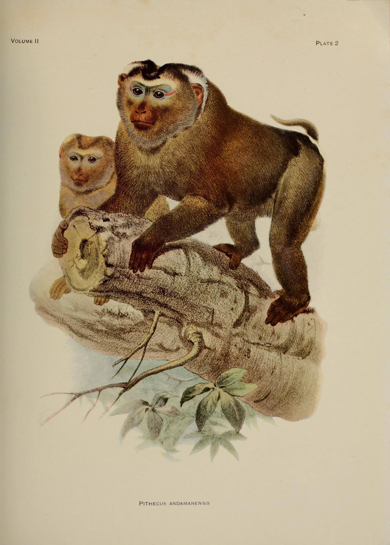 Pithecus andamanensis. A review of the Primates v.2 New
