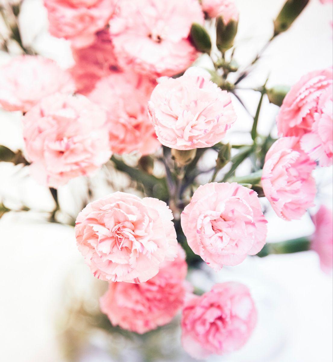 Pink Carnation In 2020 Carnations Pink Carnations Flowers