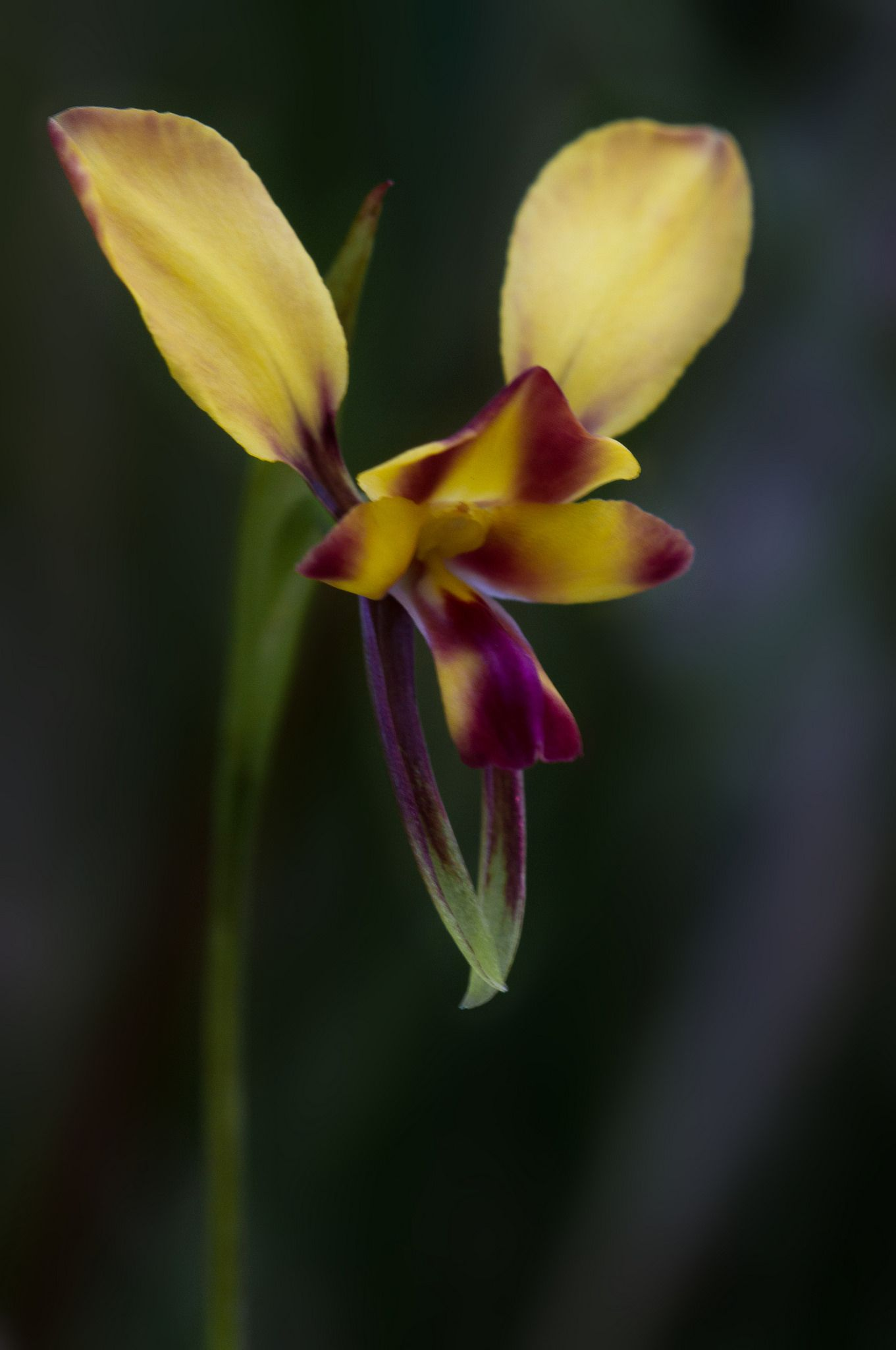 Donkey Orchid: Diuris orientis - Flickr - Photo Sharing!