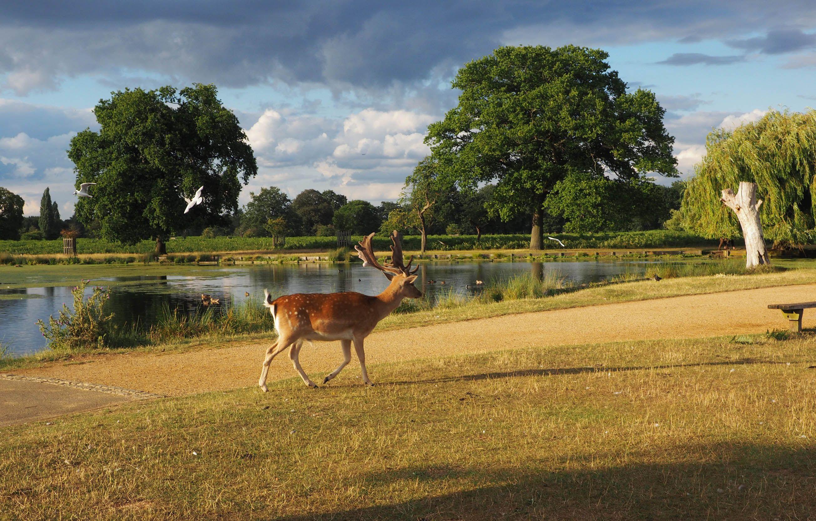 Fallow Deer Buck Bushy Park London Deer Park Park London