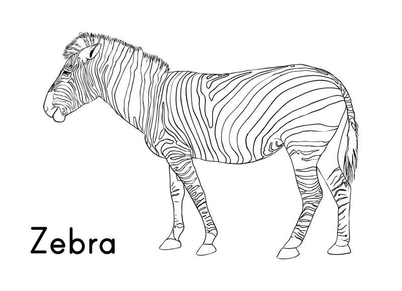 Cartoon Zebra Coloring Pages. Zebra coloring page to