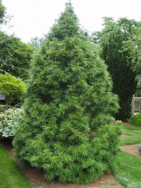 Wintergreen Umbrella Pine Tips Garden Shrubs