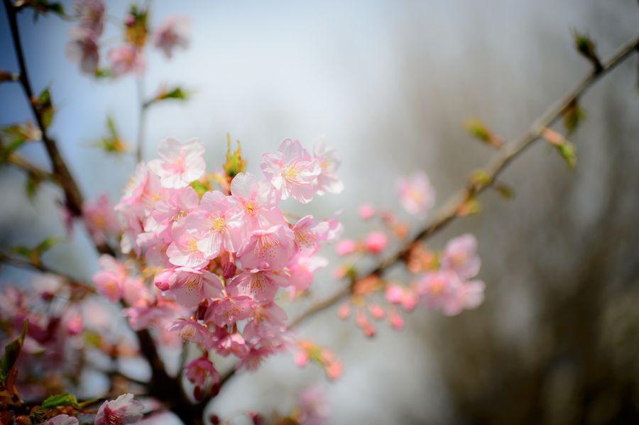 Blooming Ueno