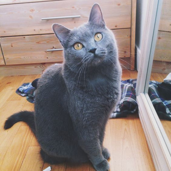 Discover The Russian Blue Cats Russian blue cat, Fluffy