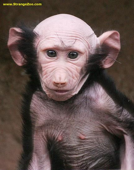 Baby mandrill baboon is it my imagination or does he look for Tattoo grand rapids mn