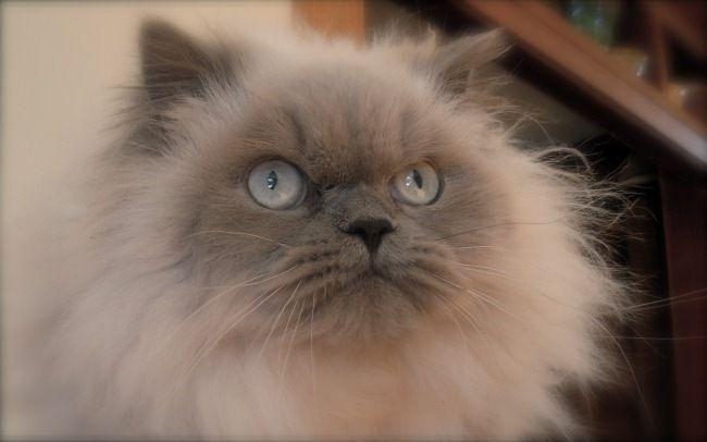 Himalayan Blue Point Doll Face Fluffy Cat Breeds Himalayan Cat Himalayan Kitten