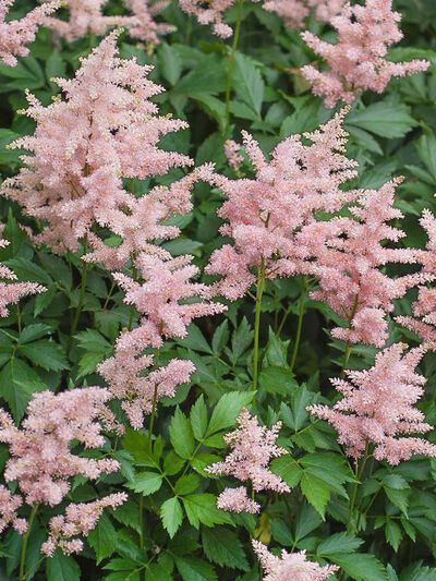 Got shade? Peach Blossom Astilbe will make your shade garden shine. This sensational plant brightens up dark spaces with graceful spikes of soft rose-pink flowers, the color of a Georgia Peach orchard in spring. The blooms come at a welcome time�when actual peach blossoms, bulbs, and other spring flowers have finished blooming, but summertime flowers have not yet begun. Plant a clump by a shady entryway or near your patio. You'll want your Peach Blossom Astilbes close at hand, so you can easily