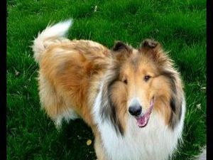 Adopt Bridgette On Collie Collie Rescue Collie Dog