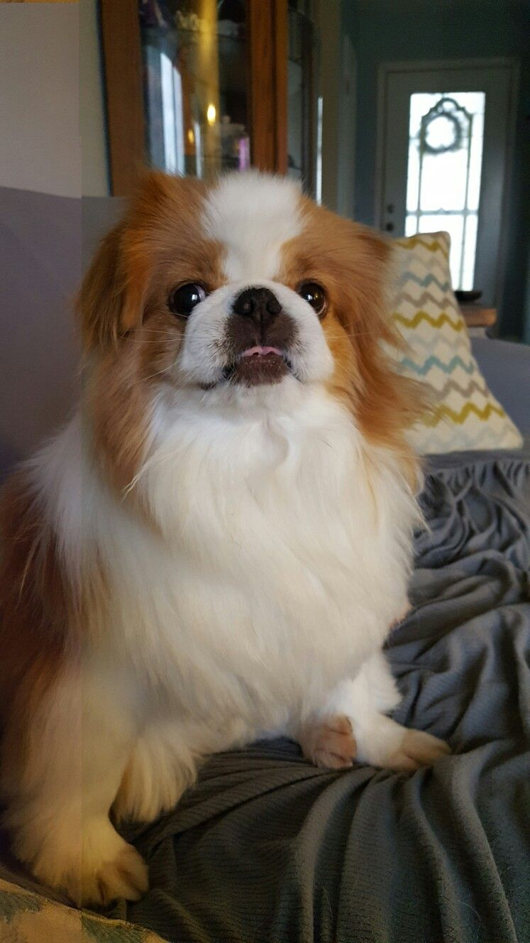 Pin by Lisa on Japanese chins Japanese chin, Japanese, Dogs