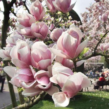 magnolien wilhelma flowers pinterest magnolien. Black Bedroom Furniture Sets. Home Design Ideas