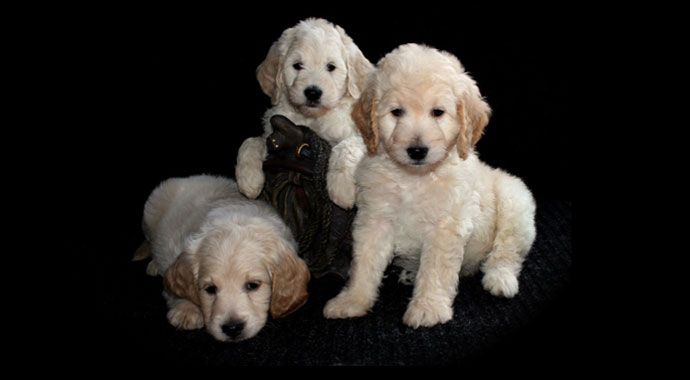 Goldendoodle Puppy By Adorable Doodles Grand Rapids Michigan Area
