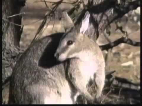 Kratts Creatures 18 - Kickboxing Kangaroos