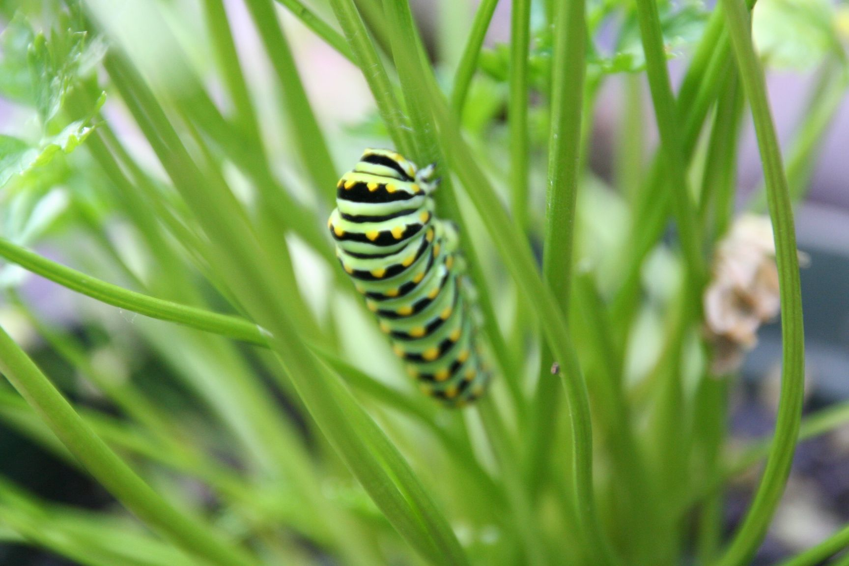 Parsley... Food for the Easter black swallowtail catipillar