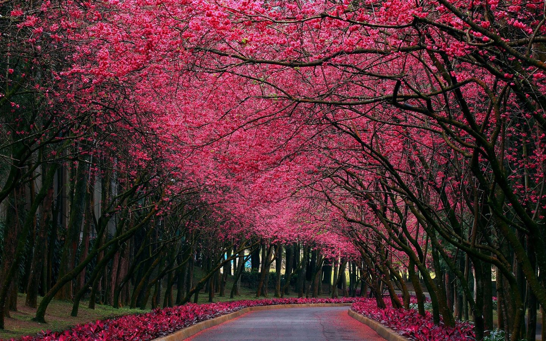 T l chargez le wallpaper chemin arbres fleurs roses - Arbre japonais rose ...