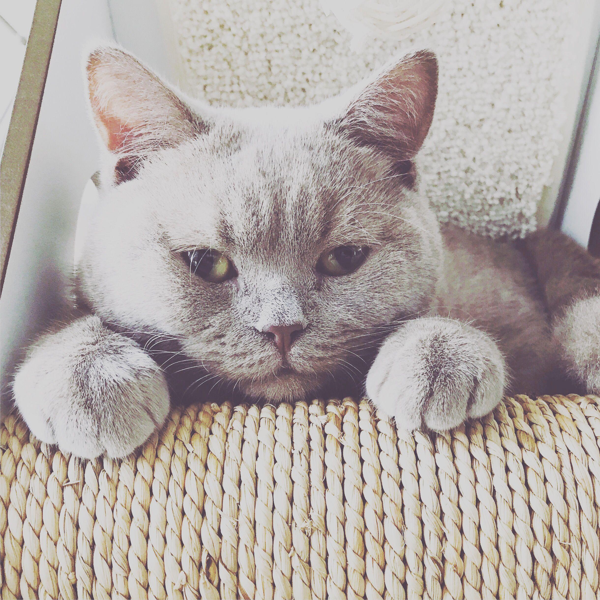Rex British Shorthair Lilac Kitten Wongophora Sydney Katte