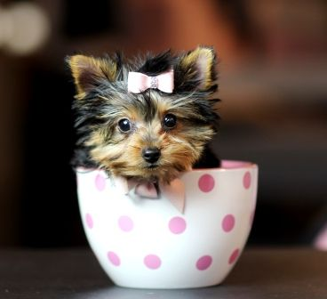 Teacup Yorkies For Sale Teacup Yorkie Dogs Florida Teacup Yorkie For Sale Yorkie Yorkie Dogs