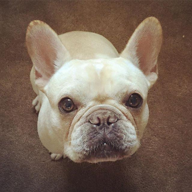 Batpigandme Cuddly Animals French Bulldog Cutest Dog Ever