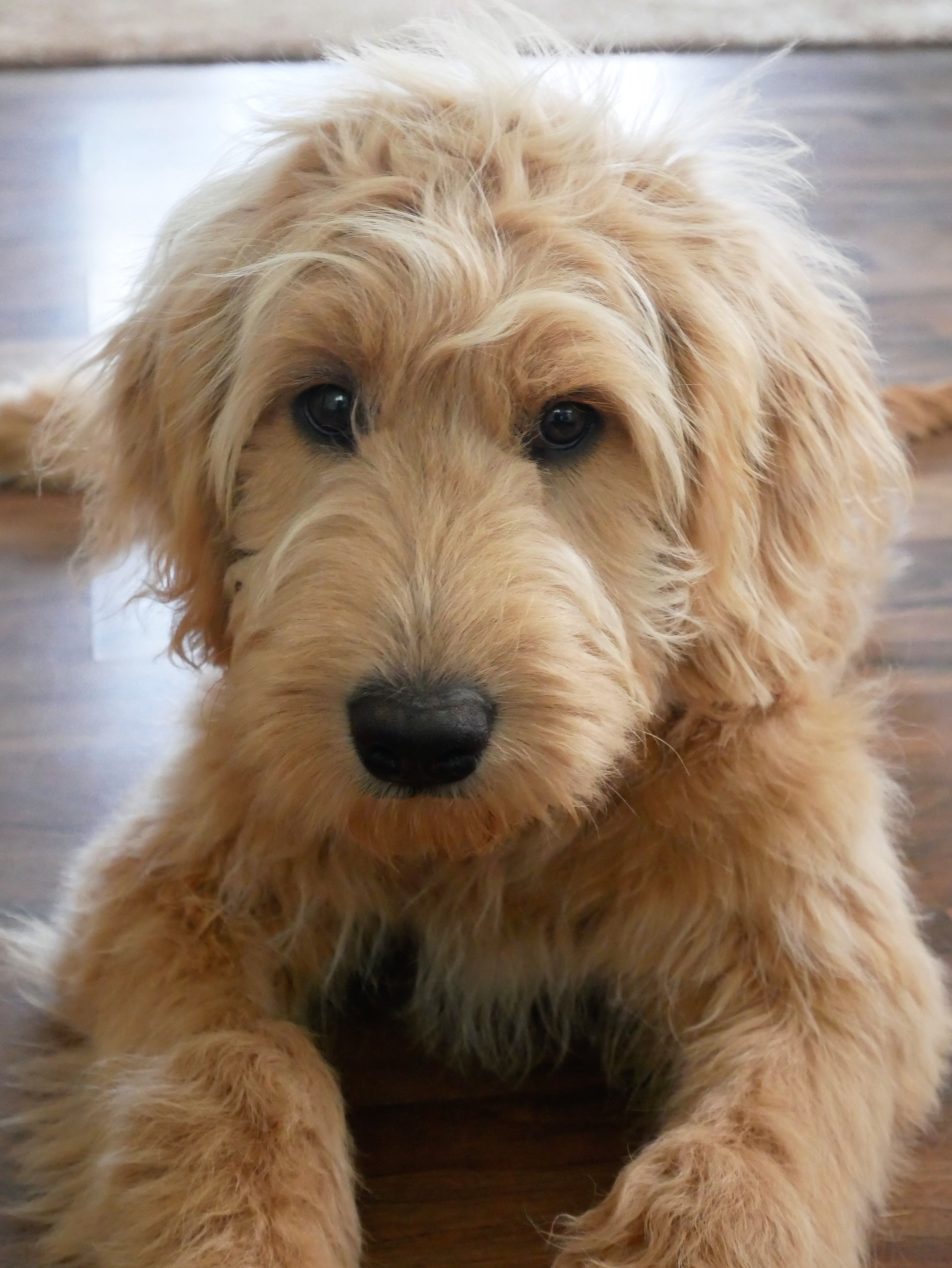 Tillee Groodle At 5 Months A Gorgeous Teddy Bear X Golden
