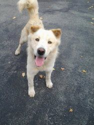Adopt Kato On Dogs Pups In Shelters Dogs Husky Mix Husky