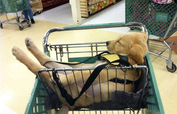 Tired Labrador Puppy